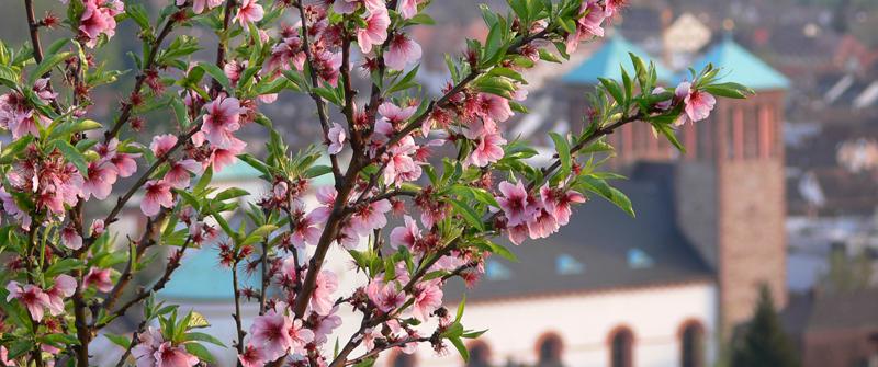 Blüten Sankt Georg