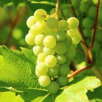 Wein, Weinberg